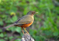Pássaros que enfeitam nossas vidas: Sabiálaranjeira