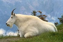 File:Mountain Goat USFWS jpg  Wikimedia Commons