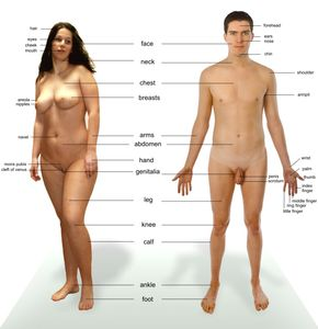 File:Human anatomy jpg - Wikipedia, the free encyclopedia
