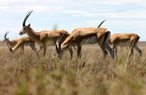 File:Grant'sgazelle jpg  Wikipedia, the free encyclopedia