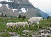 Fichier:Mountain goats jpg  Wikip�dia