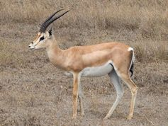 File:Grant's Gazelle taxobox jpg  Wikipedia