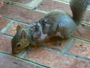 File:Eastern Gray Squirrel suffering from warbles jpg  Wikipedia, the
