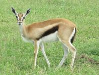 File:Thomson's Gazelle in Lake Nakuru National Park JPG  Wikimedia