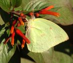 File:Common Emigrant, Jaipur jpg  Wikipedia, the free encyclopedia