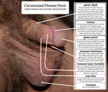 File:Diagram of circumcised penis png  Wikipedia, the free