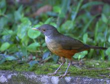 File:Flickr  Dario Sanches  SABI�LARANJEIRA (Turdus rufiventris