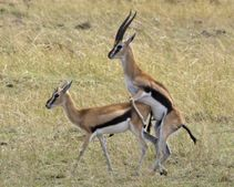 File:Thomson's gazelle (Eudorcas thomsoni) jpg  Wikipedia, the free