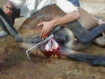 Description Mule castration emasculator during haemostasis.jpg