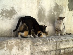 File:Cats having sex in Israel jpg - Wikipedia, the free encyclopedia