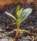 Dataja:Apple seedling idared HDR.jpg  Wikipedija