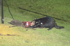 File:Devileatingroadkill jpg  Wikipedia, the free encyclopedia