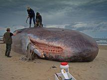 File:Dirk Claesen  Sperm Whale.jpg  Wikimedia Commons