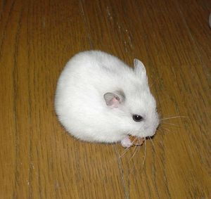 Djungarian Hamster Pearl White jpg - Wikipedia, the free encyclopedia