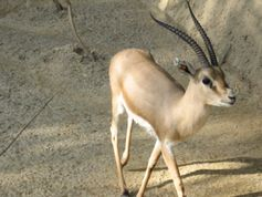 File:Slenderhorned gazelle (Cincinnati Zoo) jpg  Wikipedia, the free