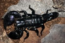 File:Emporer scorpion.jpg  Wikimedia Commons