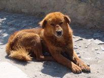 File:Tibetan Mastiff Jomsom JPG