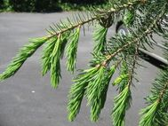 File:Picea breweriana young leaf jpg  Wikipedia, the free