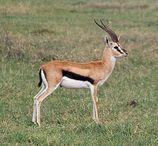 behandelt die tierart siehe auch gazelle begriffsklaerung gazellen
