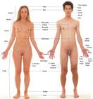 Human  Wikipedia, the free encyclopedia