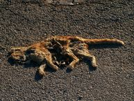 File:Catroadkillnet jpg  Wikipedia, the free encyclopedia