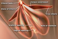 File:EdSim Clitoris anatomy jpg  Wikipedia, the free encyclopedia