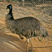 Archivo:Dromaius Novaehollandiae (Emu).jpg - Wikipedia, La