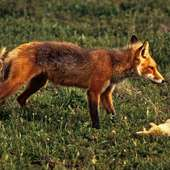 File:Red Fox With Prey Sharpened Levels.jpg - Wikimedia Commons