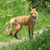 File:American Red Fox.jpg - Wikimedia Commons