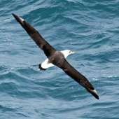File:Laysan Albatross RWD1.jpg - Wikipedia, The Free Encyclopedia