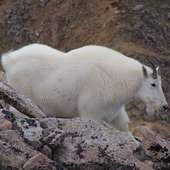 File:Mountain Goat On Mount Huron In Colorado Image 1.jpg - Wikipedia