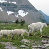 Fichier:Mountain Goats.jpg - Wikipédia