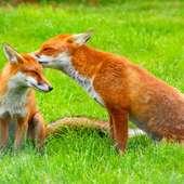 Description Red Fox (Vulpes Vulpes) -British Wildlife Centre-8.jpg