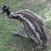 File:Baby Emu.jpg - Wikipedia, The Free Encyclopedia