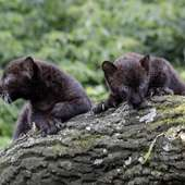 Two Baby Black Panther Cubs Were Introduced To The Public At Tierpark