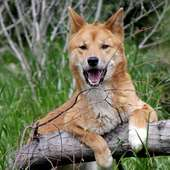 Dingoes Of The Prospect Park Zoo | While At The Zoo
