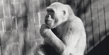 Snowflake: The White Gorilla ~ Snowflake's Legacy | Nature | PBS