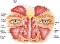 the sinuses are cavities in your skull located around the eyes and