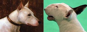 of bull terrier as a result of inbreeding (Pedigree Dogs Exposed
