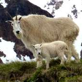 Mountain Goats Facts Photos And Video Near Smithers In Central British