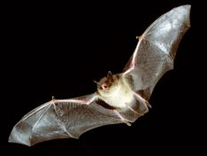 Although a bat with rabies was found in Berkeley, very few bats