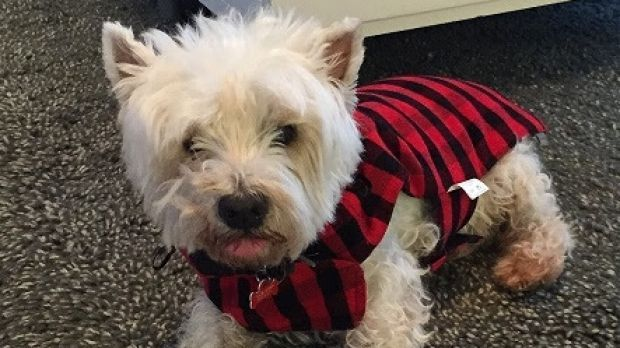 'Who could do this?' Scruffy's owners beg for help after dead dog found tied up - Brisbane Times