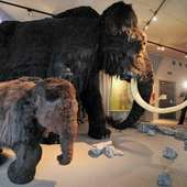 Mammoth's Nursing Habits May Have Sped Demise - Technology & Science