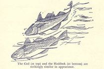 Origin of Scrod, which is Sometimes Cod and Sometimes Haddock