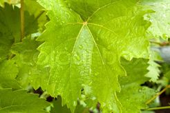 Stock image of 'young leaf on the bush of vin'