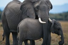 African Elephant Father And Son Nude and Porn Pictures