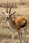 Gazelle de Thomson  En Images  Dinosoria