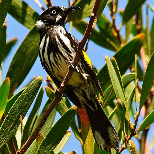 New Zealand Honeyeater