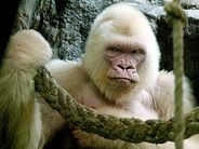 albinogorillaSnowflake the albino gorilla at Spain's Barcelona Zoo