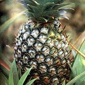 Pinya (Pineapple) � Scientific name: Ananas comosus
